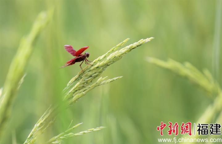 图为飞舞的蜻蜓正等待着水稻开花。董观生摄