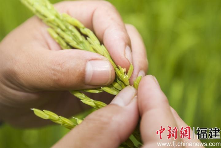 图为福建省福瑞华安种业科技有限公司技术员在田间观察水稻父本的开花情况。董观生摄